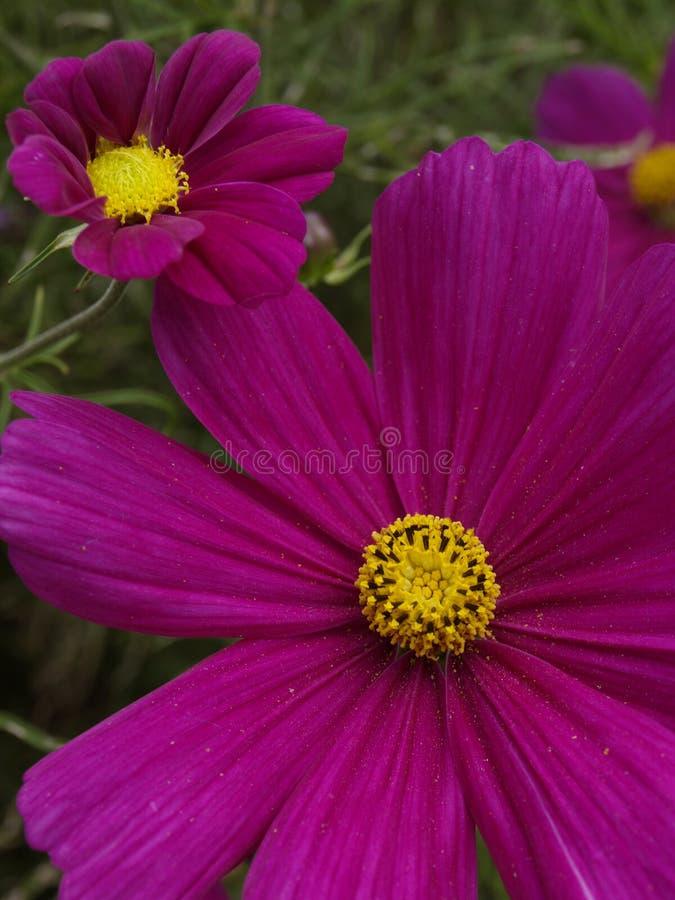 Carmin 07 de sonate de bipinnatus de cosmos photographie stock