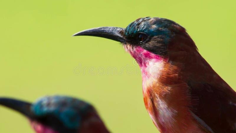 Carminebi-ätare är superb flyg- jägare och experter på att fånga kryp i mitt--luft, savann, Afrika arkivfoto
