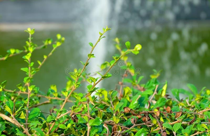 Carmona Retusa o árbol del té de Fukien en un jardín imágenes de archivo libres de regalías