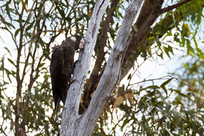 Carnaby's Svart-kakadua fågel som pickar lastbilen för eukalyptusträd i västra Australien royaltyfri fotografi