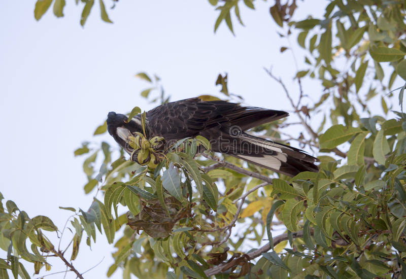 Carnaby's Black Cockatoo in Pecan Nut tree in autumn. The large black cockatoo native to western Australia eating pecan nuts in a tree in autumn is Carnaby's royalty free stock image