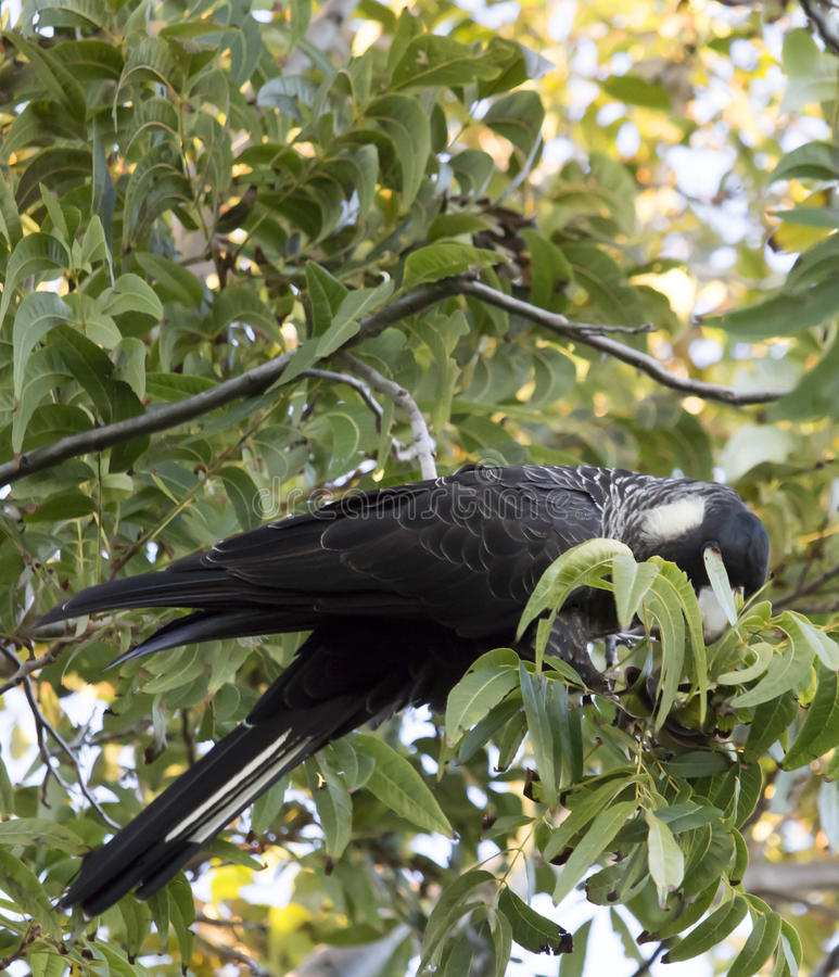 Carnaby's Black Cockatoo in Pecan Nut tree in early morning in autumn. The large black cockatoo native to western Australia eating pecan nuts in a tree in stock photo