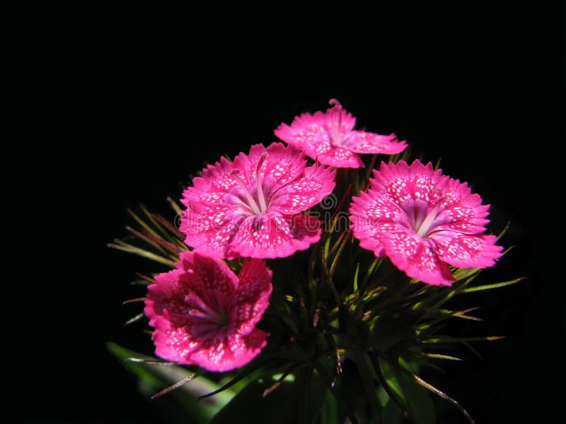 Carnation. The raceme of the carnation, reminding salute royalty free stock photography