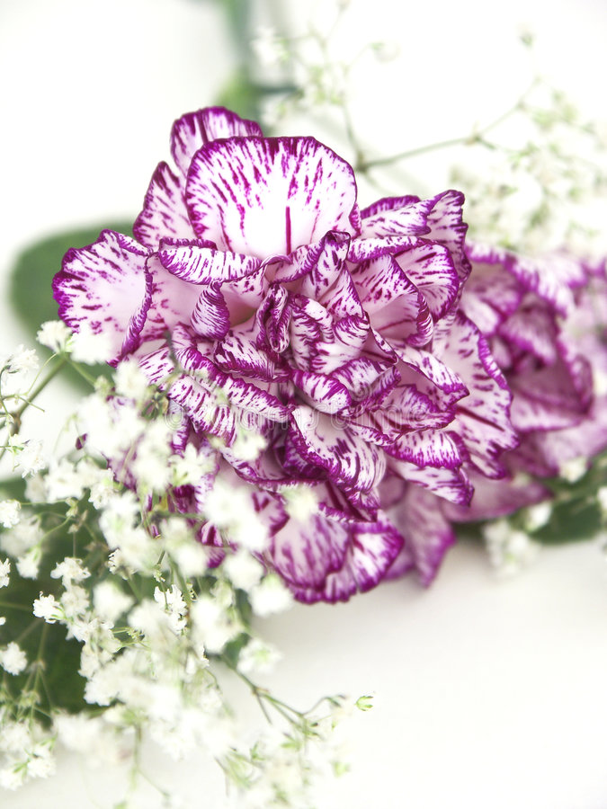 Download Carnation 2 stock image. Image of white, breath, flower - 80217