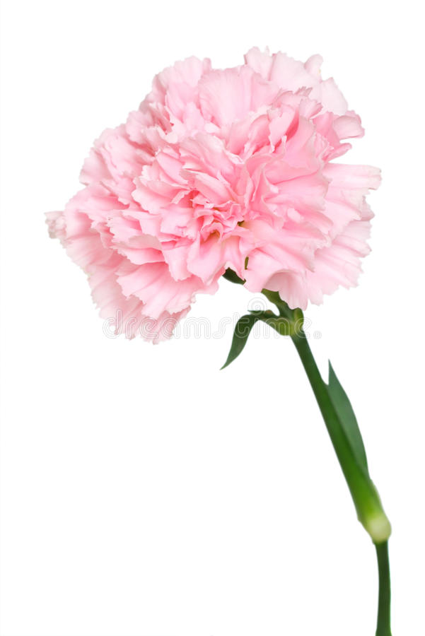 Free Carnation Stock Images - 20906264