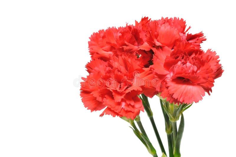 Carnation. Isolated on white background stock image