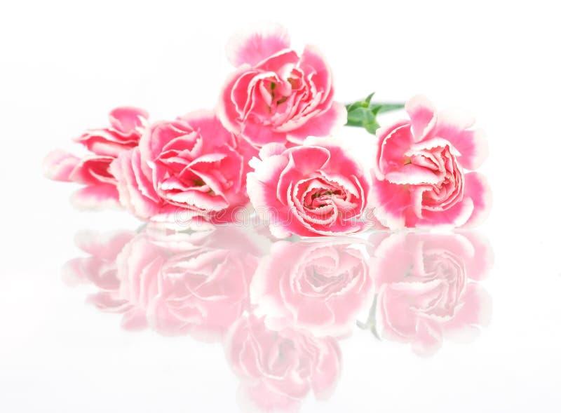 Download Carnation stock image. Image of reflection, background - 4903871