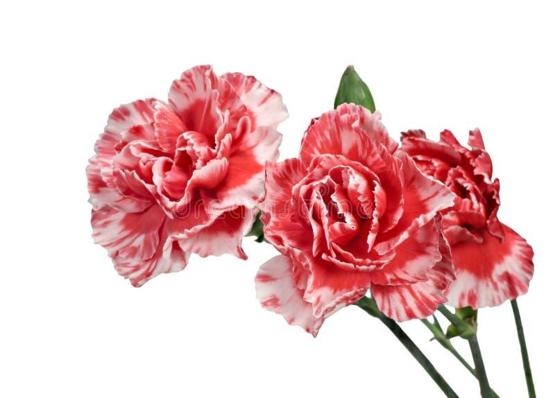 Download Carnation stock photo. Image of blossom, flower, garden - 7321416