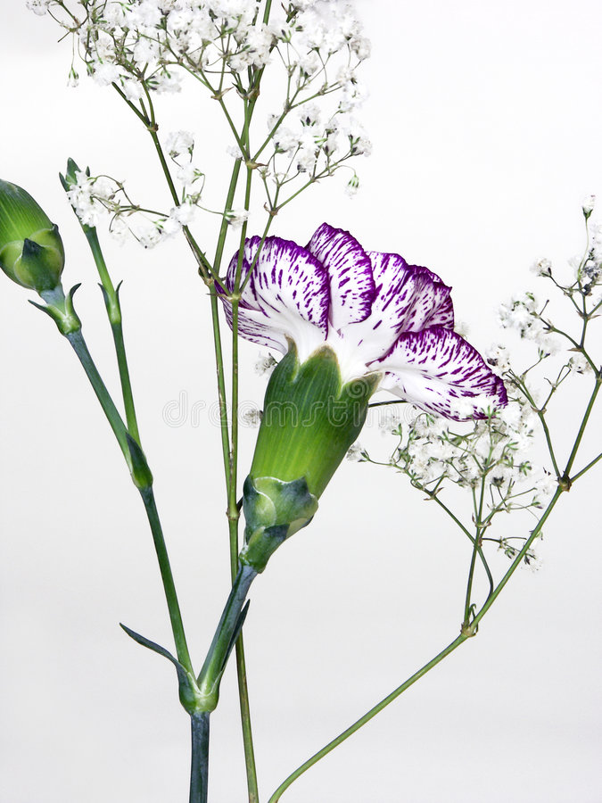 Download Carnation Back Stock Photo - Image: 80260