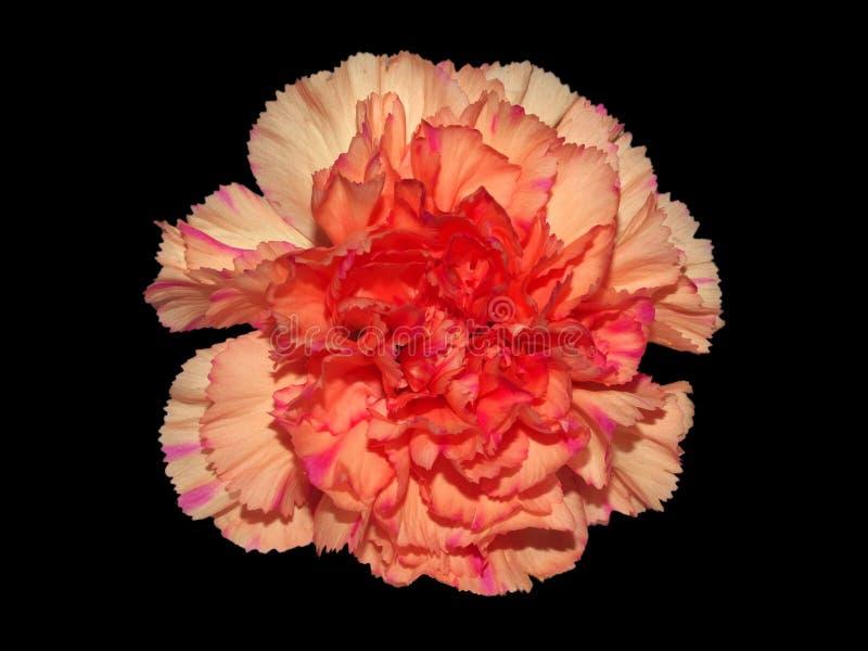 Carnation On Black royalty free stock image