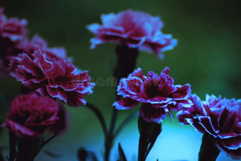 Carnation. Blooming night flower is a beautiful plant Carnation stock photo