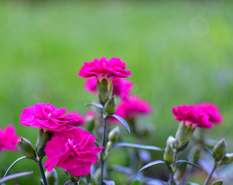 Carnation. Blooms of Garden Carnation in pink colors with green natural background. Flower of the gods. Carnations express love, fascination and distinction stock photo