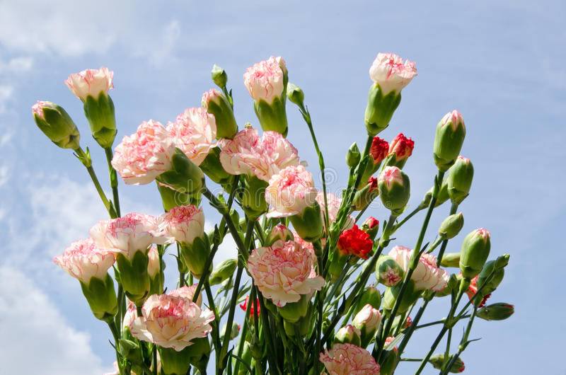 Carnation Bouquet. Against blue sky royalty free stock images