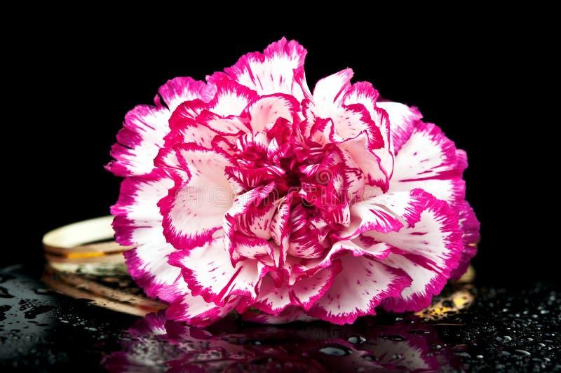 Download Carnation flower stock image. Image of flower, carnation - 24428709
