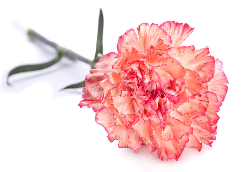 Download Carnation flower stock image. Image of nobody, carnation - 29348311