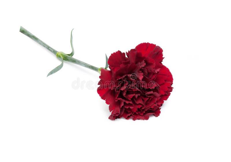 Carnation flower. Beautiful maroon carnation flower isolated on white background stock image
