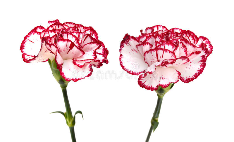 Carnation flower. Blooming carnation flower isolated on white background royalty free stock photography