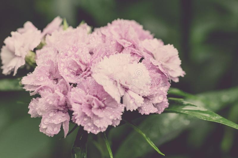 Carnation flower. Close up blooming carnation glory pink flower Dianthus caryophyllus, carnation clove pink, species of Dianthus stock photography