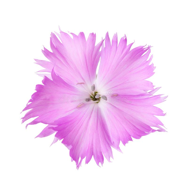 Carnation flower of lilac color isolated on white background. Dianthus stock images