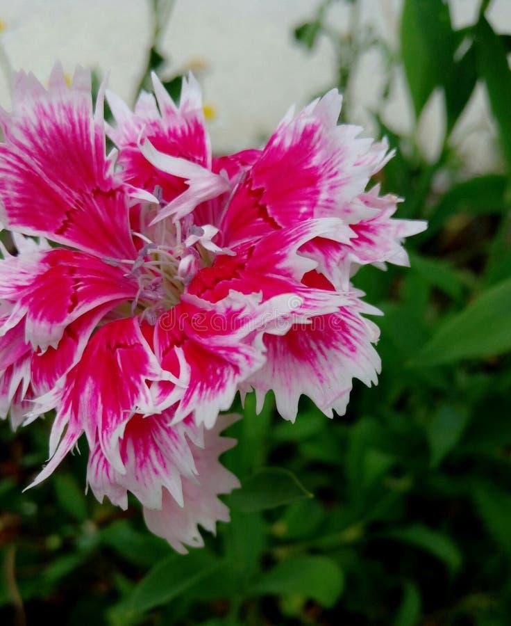 Carnation Flower stock image