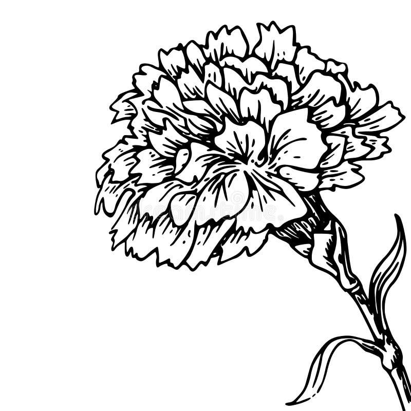 Carnation Flower Line Drawing : Carnation flower sketch of tattoo stock illustration