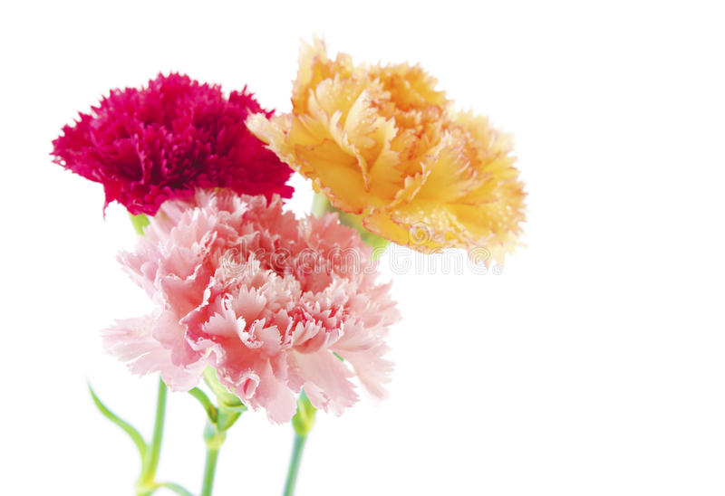 Carnation flowers. Three different color carnation flower in a row royalty free stock photo