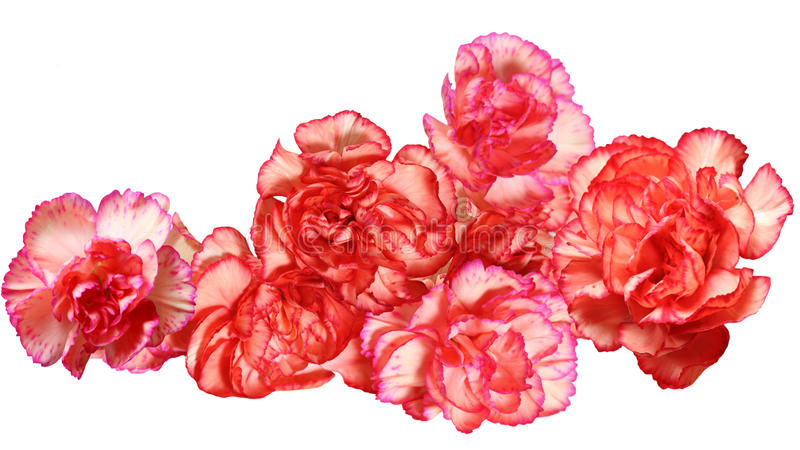 Carnation flowers royalty free stock photography