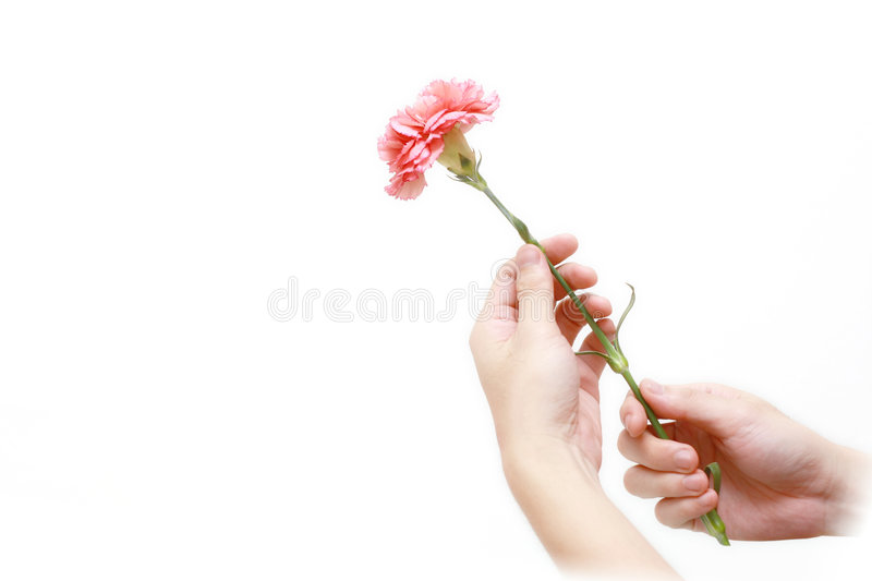 Carnation for mother's day royalty free stock photo