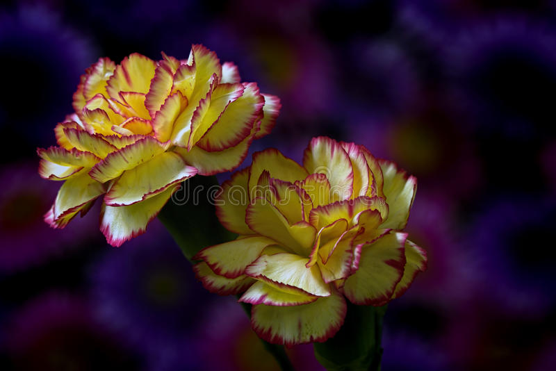 Carnation Pair. Floral portrait on a purplish background of a pair of yellow-red carnations stock images