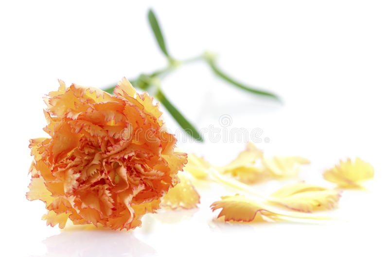 Download Carnation and petal stock image. Image of background - 25383925
