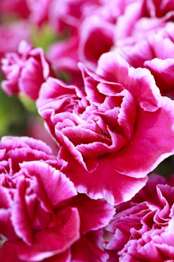 Carnation petals. Macro shot of carnation petals royalty free stock photo