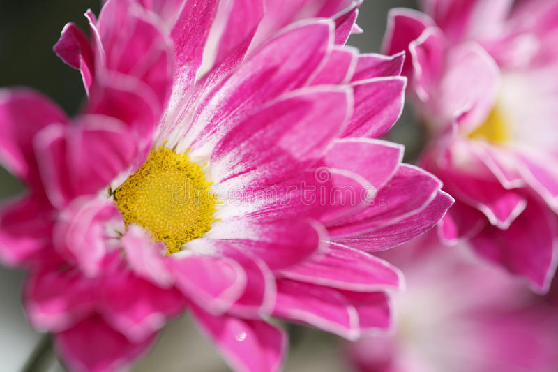 Carnation petals. Macro shot of carnation petals stock photo