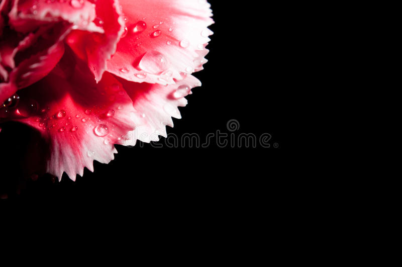 Carnation petals. Isolated on black royalty free stock images