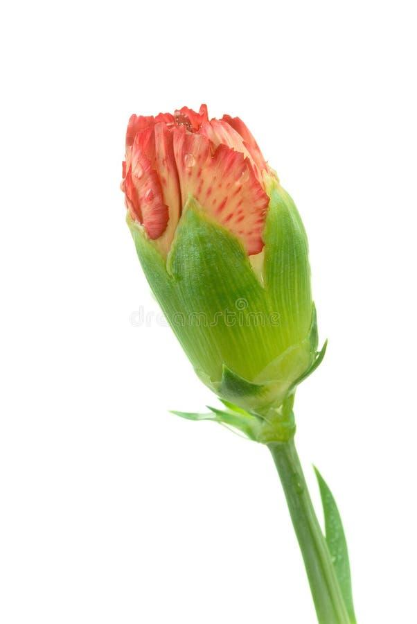 Carnation royalty free stock photo
