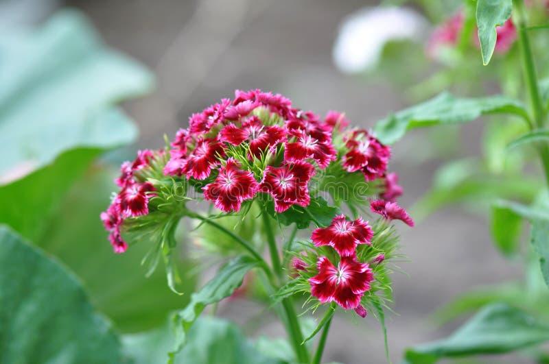 carnations fotos de stock royalty free