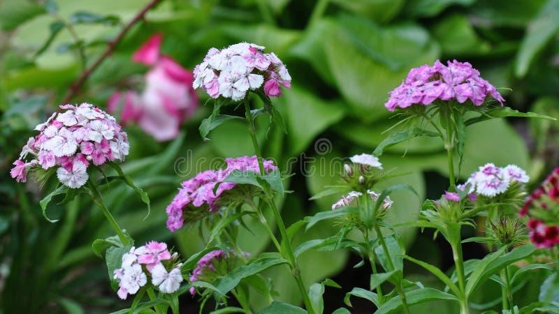 carnations foto de stock