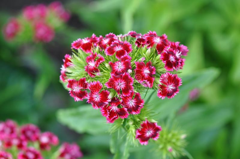 carnations imagem de stock royalty free