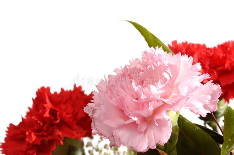 Carnations stock photo