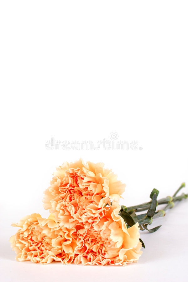 Free Carnations Royalty Free Stock Images - 498989