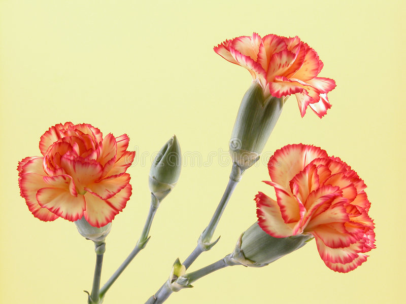 Download Carnations stock photo. Image of nature, botany, plant - 523266