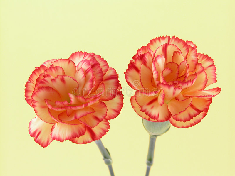 Download Carnations Stock Photos - Image: 523273