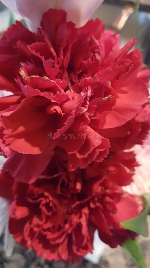 carnations imagens de stock