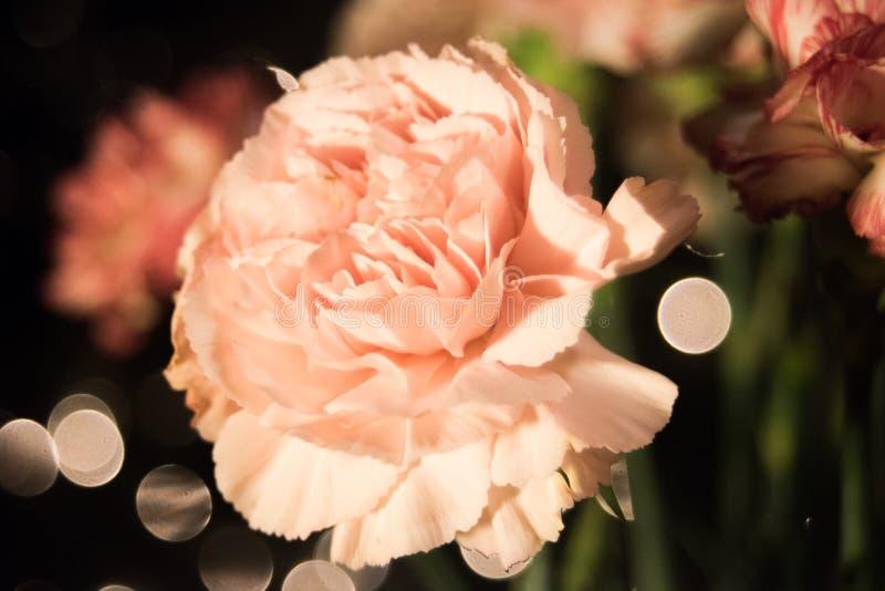 carnations fotos de stock