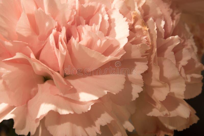 carnations fotografia de stock