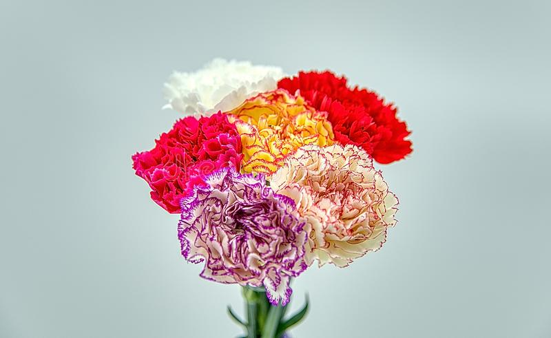 Carnations. Stunning pink peonies, yellow carnations and roses. Gift, elegance. stock photography