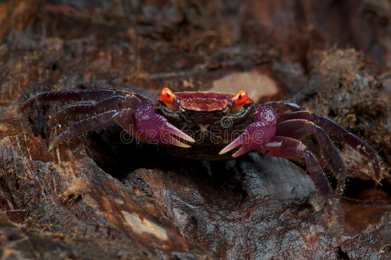 Download Carnaval螃蟹紫色 库存图片. 图片 包括有 奇怪, 眼睛, 颜色, 新鲜, 关闭, 紫色, 红色 - 15684595
