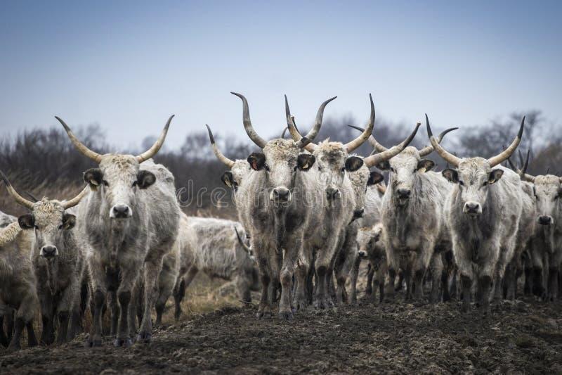 Carne cinzenta húngara tradicional, horda do gado fotografia de stock