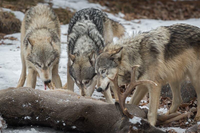 Carne del tirón del lupus de Grey Wolves Canis de ciervos de la Blanco-cola imagen de archivo libre de regalías