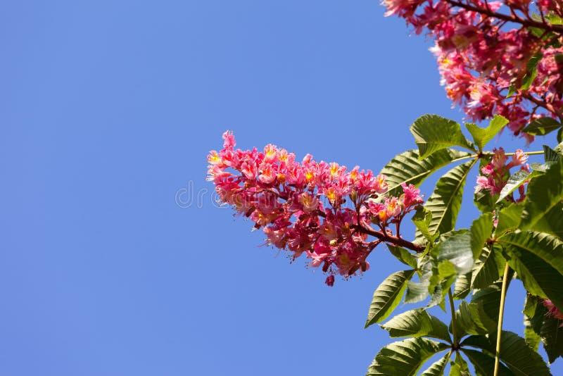 Carnea del Aesculus del árbol de castaña de caballo con la flor roja del flor imágenes de archivo libres de regalías