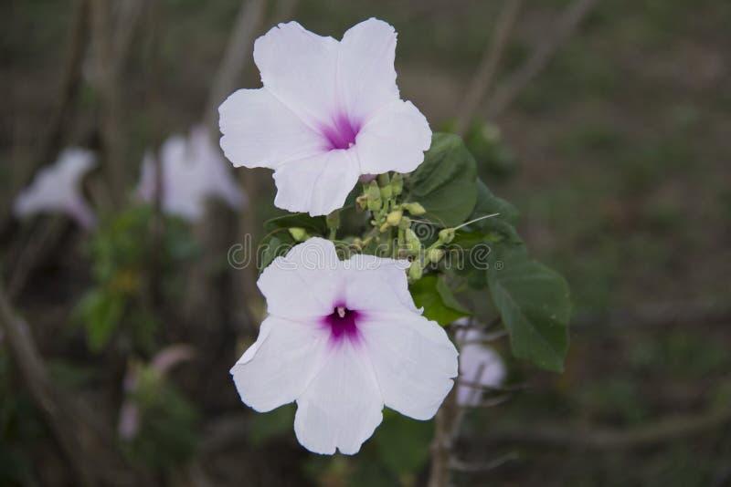 Carnea del Ipomoea Flor rosada kangkung pagar imagenes de archivo